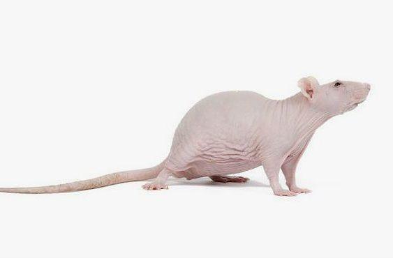 Лысая крыса - сфинкс
