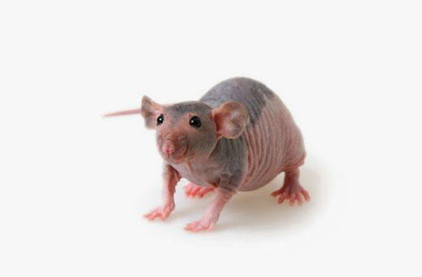 Лысый крысенок сфинкс