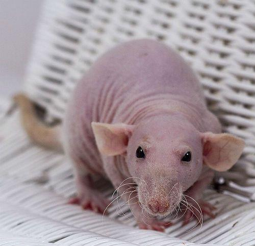 Декоративные крысы сфинксы - подвид дамбо