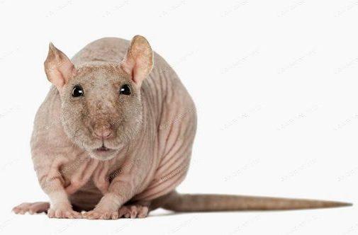 Декоративная крыса сфинкс - вид спереди