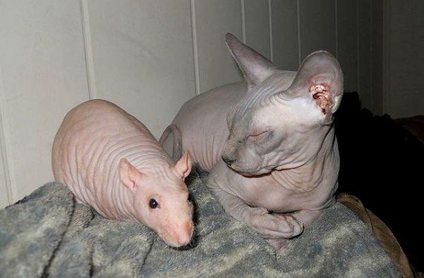 Декоративная крыса сфинкс и кошка сфинкс