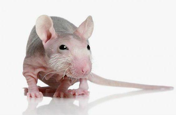 Декоративная крыса сфинкс - мордочка