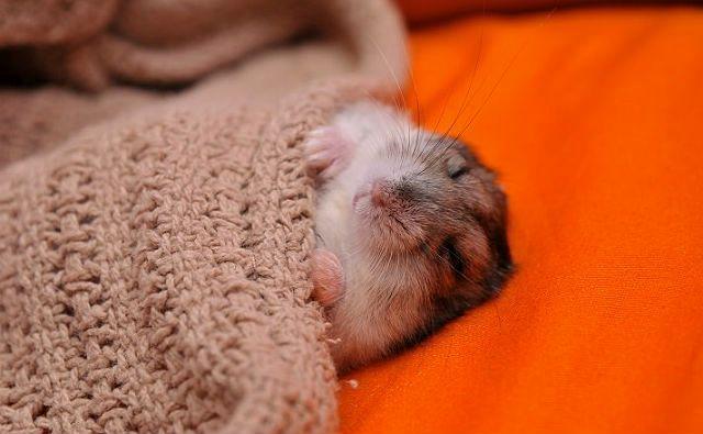 Спящий хомяк