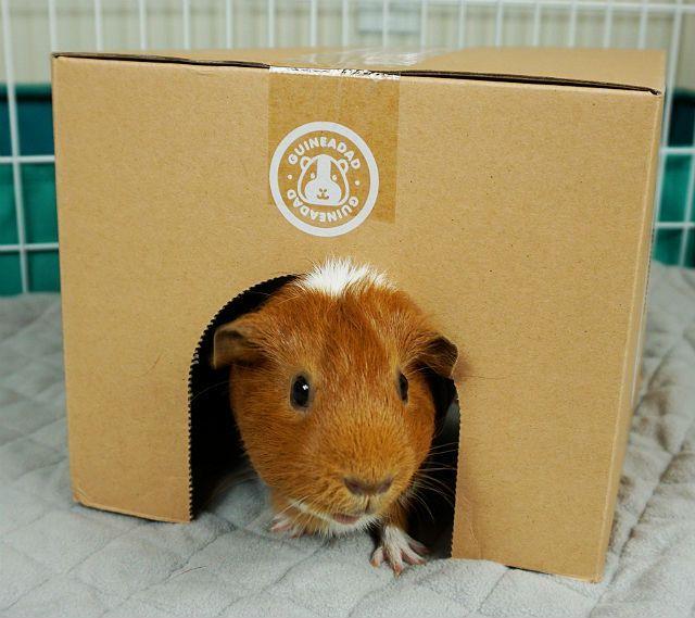 Домик для морской свинки из коробки