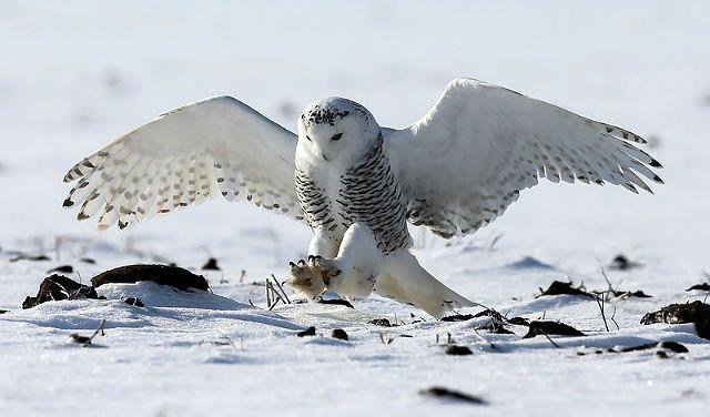 Факты о полярных совах - охота