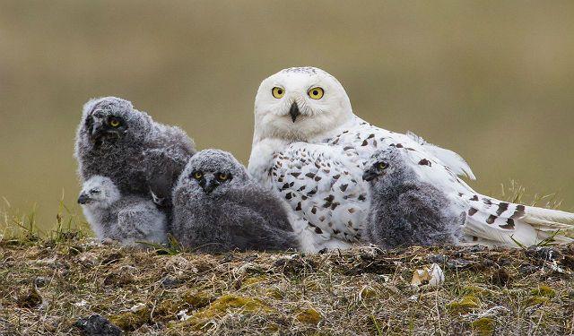 Факты о полярных совах - размножение