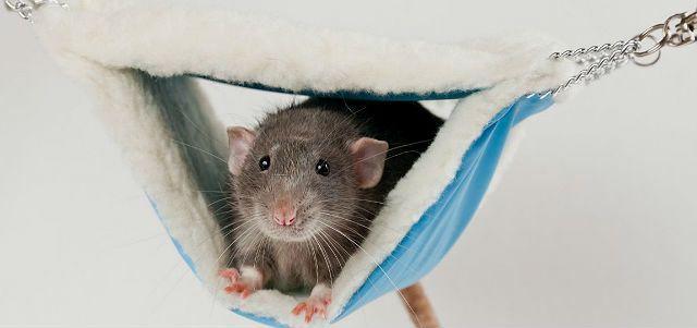 Гамак для декоративной крысы из капюшона