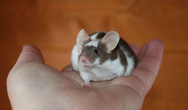 Имена для мышей - выбор клички