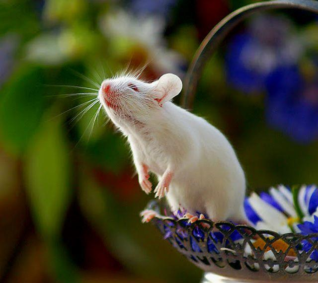 Имена для мышей девочек