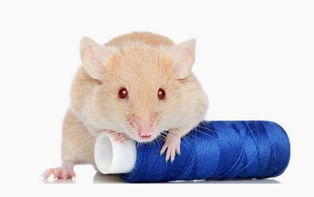 Имена для мышей - выбор клички по характеру