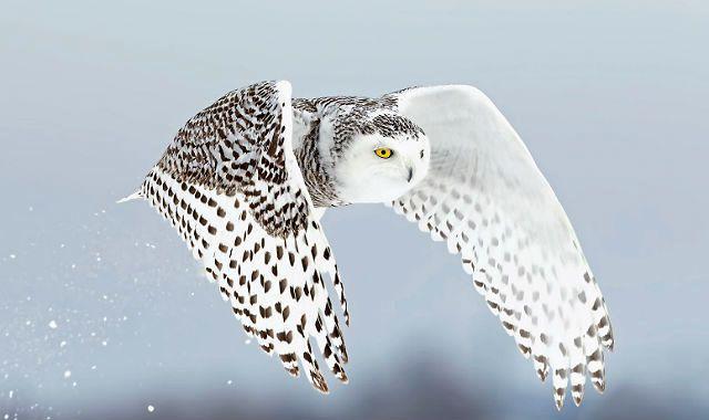 Интересные факты о полярной сове - внешность