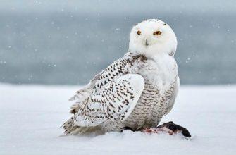 Интересные факты о полярных совах