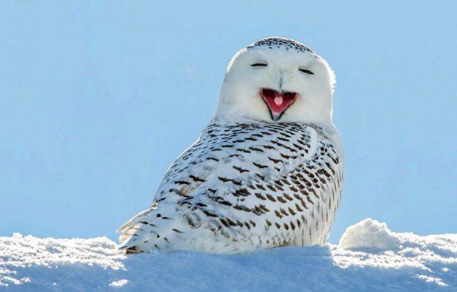Интересные факты о полярных совах - смех