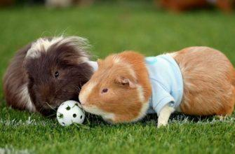 Как играть с морскими свинками - главное фото