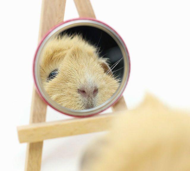 Как играть с морскими свинками - зеркальце