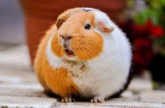 Как назвать морскую свинку - главное фото