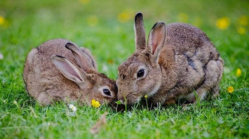 Как отличить самцов и самок кроликов - главное фото