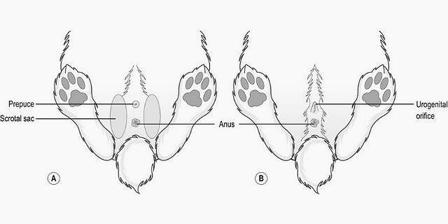 Половые органы кроликов