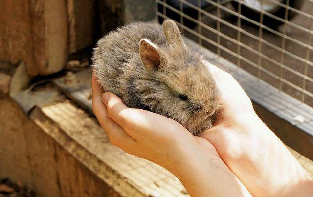 Определение пола у декоративного кролика