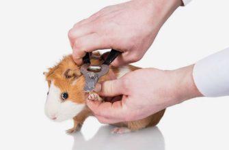 Как подстричь когти морской свинке - главное фото