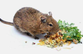 Как правильно кормить чилийских белок - главное фото