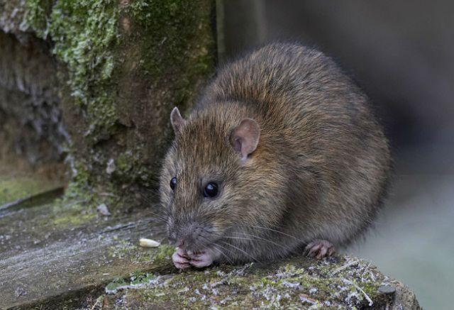 Как приручить дикую крысу