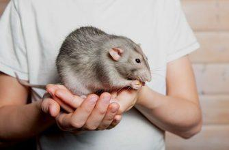 Как приучить крысу к рукам - главное фото