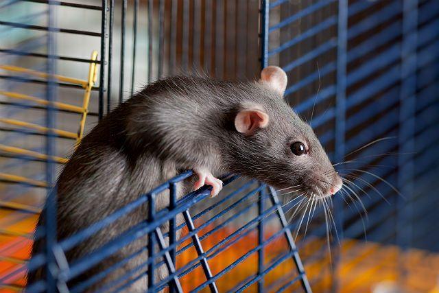 Как приучить крысу к рукам - организация комфортных условий