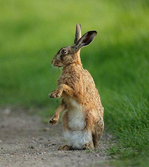 Какими звуками общаются зайцы - барабанная дробь