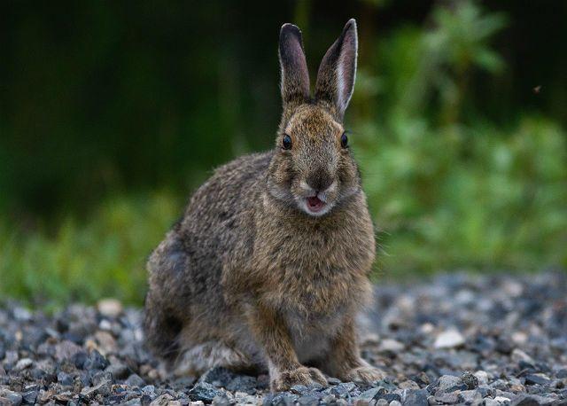 Какими звуками общаются зайцы - тихий писк