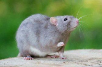 Крысиный язык-0