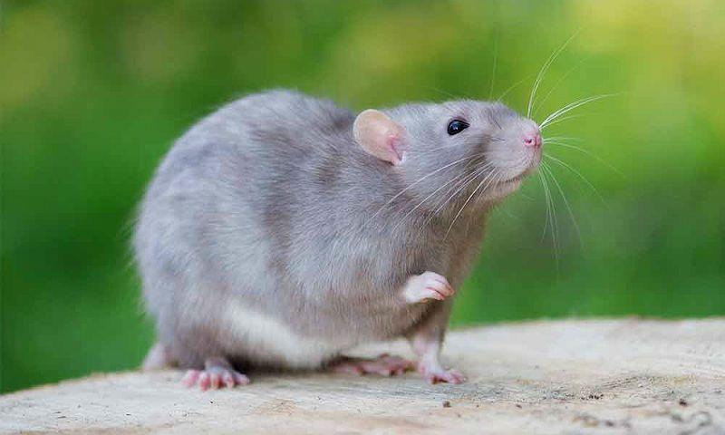 Крысиный язык - главное фото