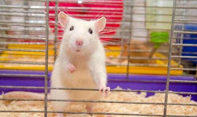 Крысиный язык - писк