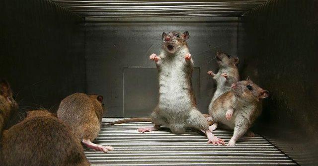 Крысиный язык - шипение