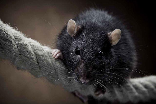 Крысиный язык - скрип зубами