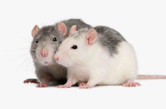 Крысы хаски - главное фото