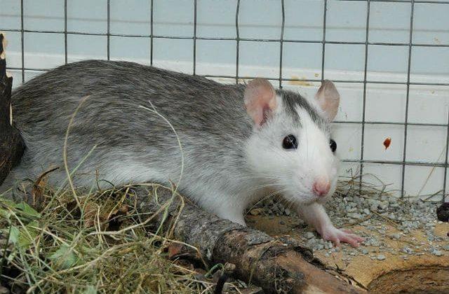 Крысы хаски - вид сбоку