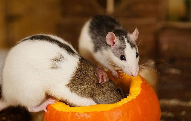 Крысы хаски - поведение