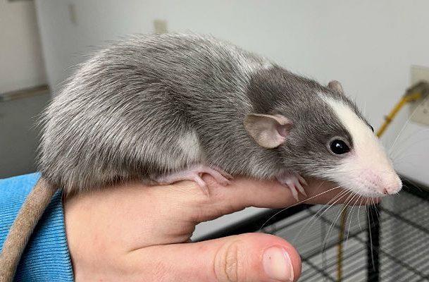Крыса хаски на руке