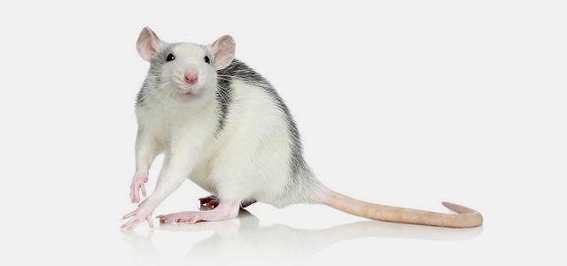 Крысы окраса хаски