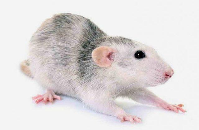Крыса хаски - потягушки