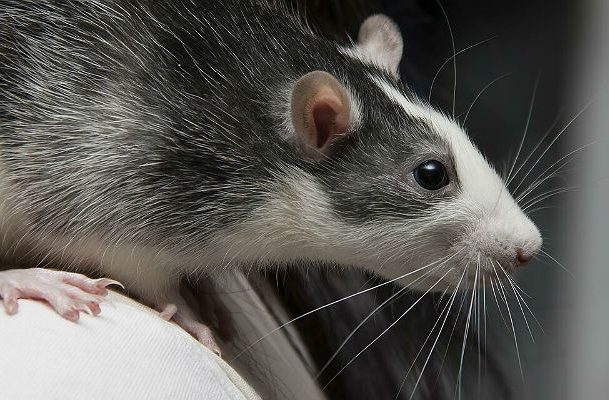 Крысы хаски - мордочка