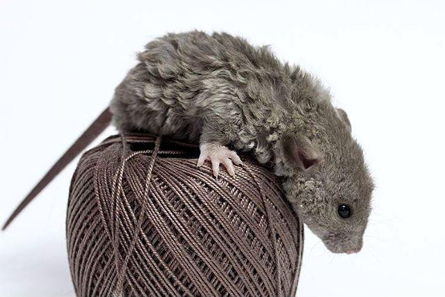 Крысы с кудрявой шерстью - главное фото