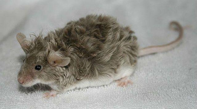 Крысы с кудрявой шерстью - характер и поведение