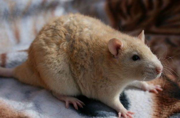 Крыска с кудрявой шерстью