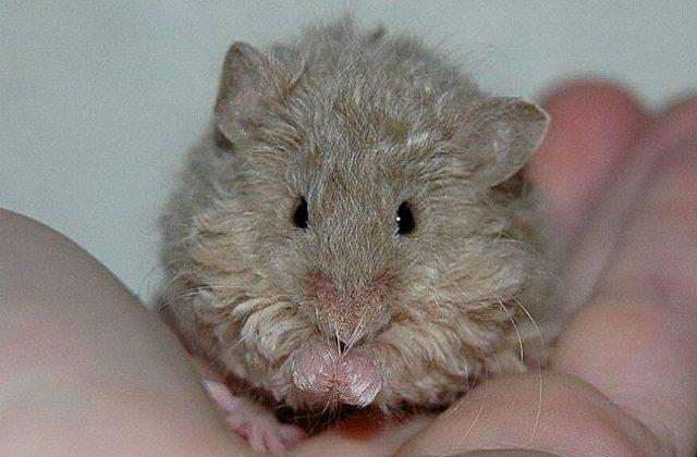 Крыса с кудрявой шерстью - вид спереди