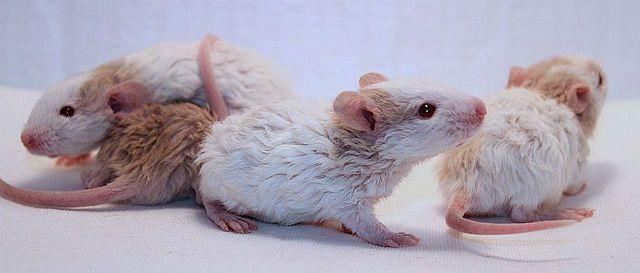 Кудрявые крысята рекс