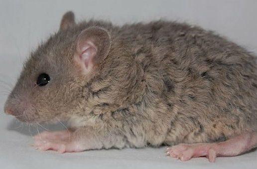 Крыса с кудрявой шерстью - вид сбоку
