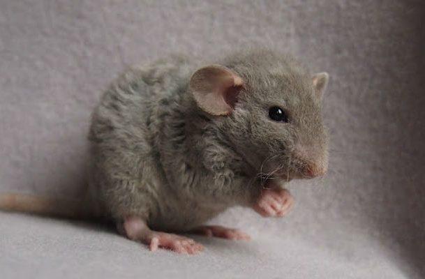 Маленькая крыса с кудрявой шерстью