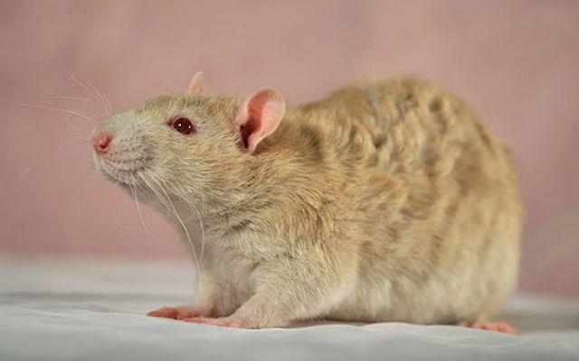 Крысы с кудрявой шерстью - рекс